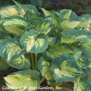 Hosta 'Great Expectations' Plantain Lily