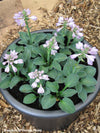Hosta Blue Mouse Ears Plantain Lily for sale