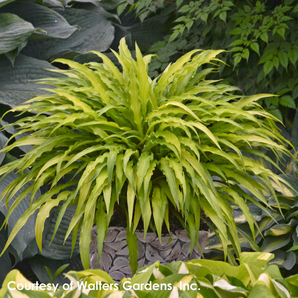 Hosta Curly Fries Plantain Lily for sale