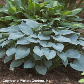 Hosta Halcyon Plantain Lily for sale