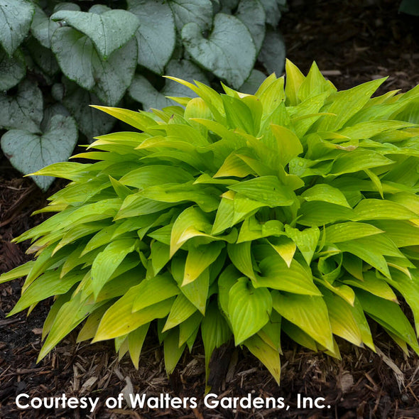Hosta Munchkin Fire Plantain Lily for sale