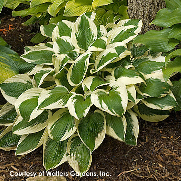 Hosta Patriot Plantain Lily for sale