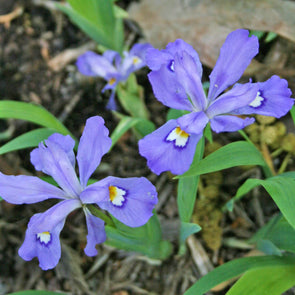 Iris cristata Crested Iris for sale