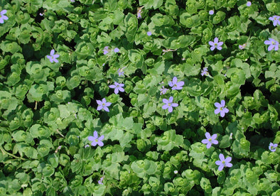 Isotoma fluvatilis Blue Star Creeper for sale