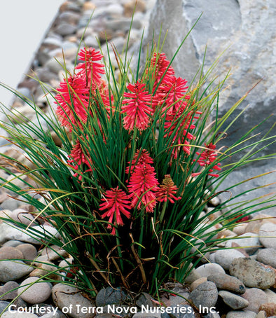 Kniphofia x Poco Red Red Hot Poker for sale