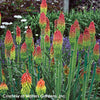 Kniphofia hirsuta Fire Dance Red Hot Poker for sale