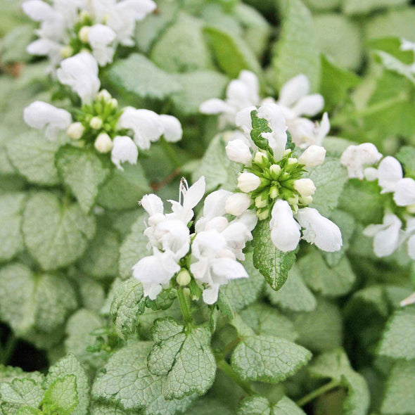 Lamium maculatum White Nancy Spotted Dead Nettle for sale