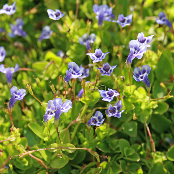 Lindernia grandiflora Blue Moneywort for sale