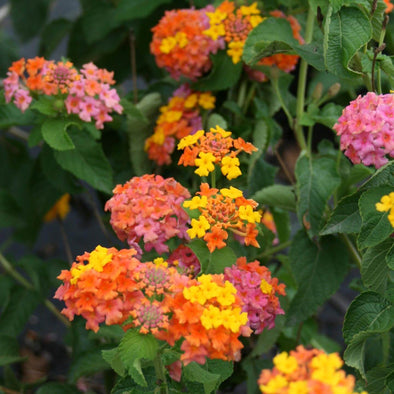 Lantana camara Miss Huff Lantana for sale