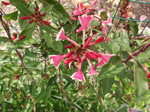 Lonicera 'Serotina' Dutch Honeysuckle