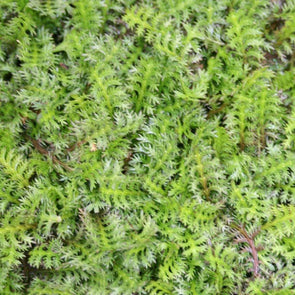 Leptinella potentillina Brass Buttons for sale