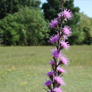 Liatris aspera for sale