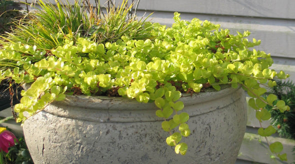 Lysimachia nummularia 'Aurea' Golden Creeping Jenny Moneywort for sale