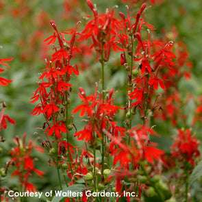 Lobelia cardinalis Cardinal Flower for sale
