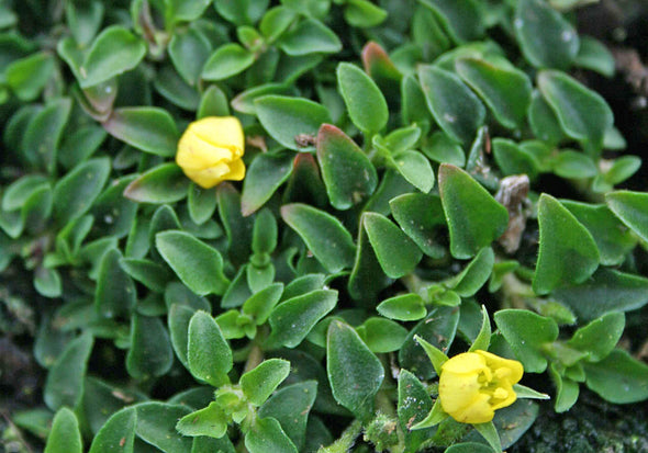 Lysimachia Minutissima Miniature Moneywort for sale