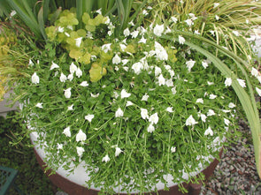 Mazus reptans Alba for sale