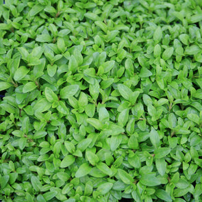 Mentha pulegium Nana Dwarf Pennyroyal for sale
