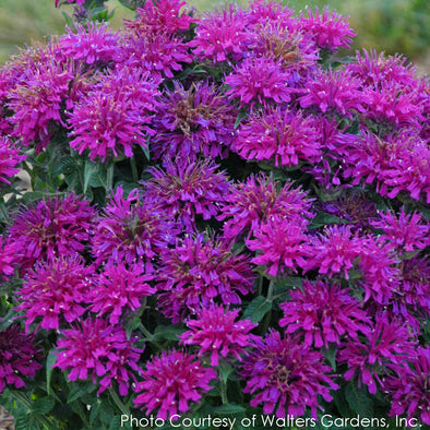 Monarda Grape Gumball Bee Balm