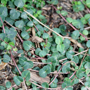 Mitchella repens Partridgeberry for sale