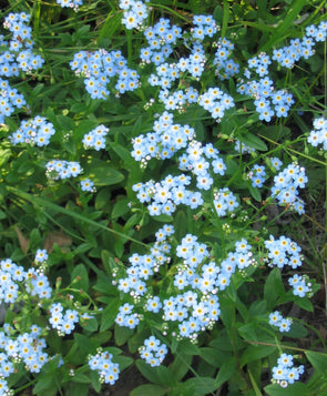Myosotis palustris Forget-Me-Not for sale