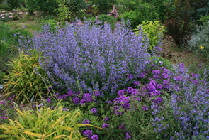 Nepeta x faassenii Walker's Low Catmint for sale
