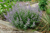 Nepeta faassenii 'Junior Walker' Catmint
