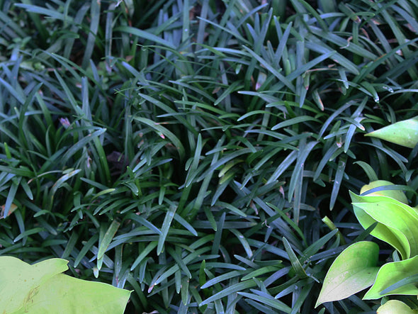 Ophiopogon japonicus Nana Dwarf Mondo Grass for sale