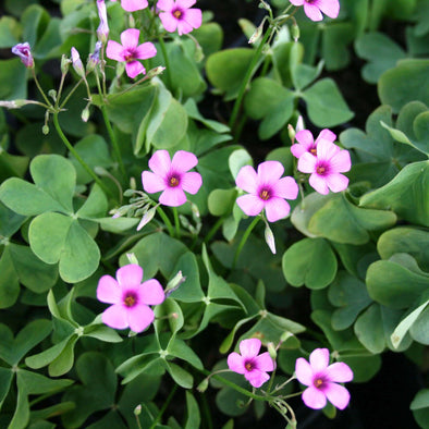 Oxalis crassipes 'Rosea' Wood Sorrel