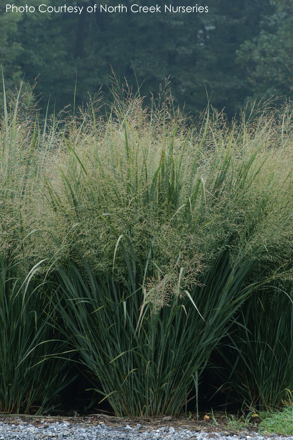 Panicum Northwind Switch Grass