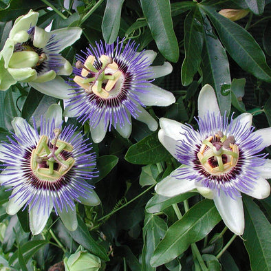Passiflora caerulea Waterloo Blue Passionflower