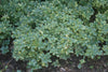 Pachysandra terminalis Silver Edge Variegated Japanese Spurge for sale