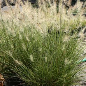 Pennisetum Piglet Fountain Grass
