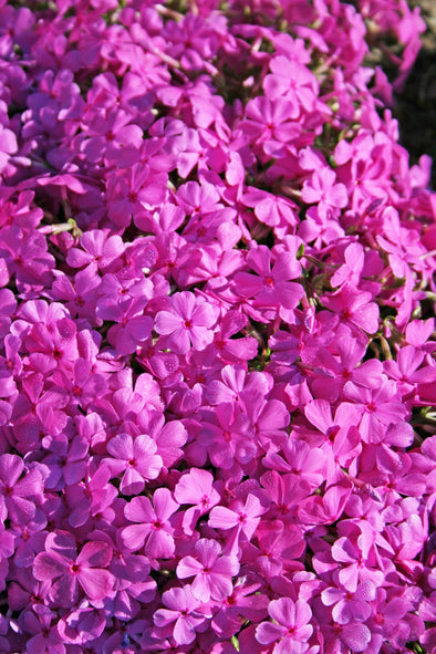 Phlox subulata Drummond's Pink Creeping Phlox for sale