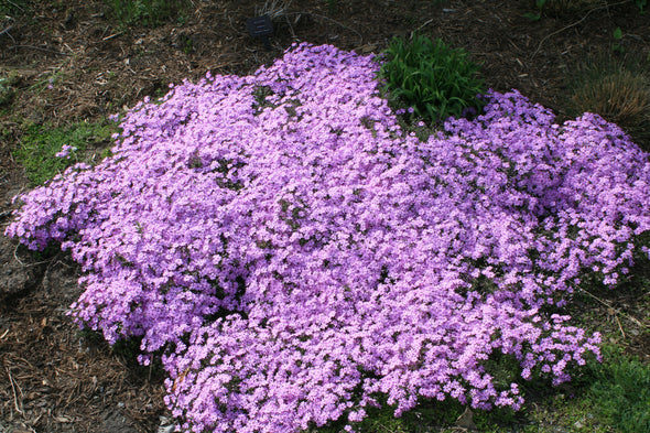 Phlox subulata Fort Hill Creeping Phlox for sale