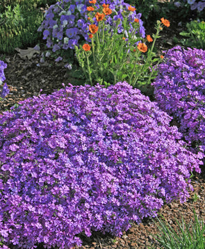 Phlox subulata Purple Beauty Creeping Phlox for sale