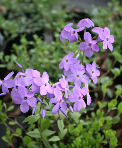 Phlox stolonifera Sherwood Purple Creeping Woodland Phlox for sale