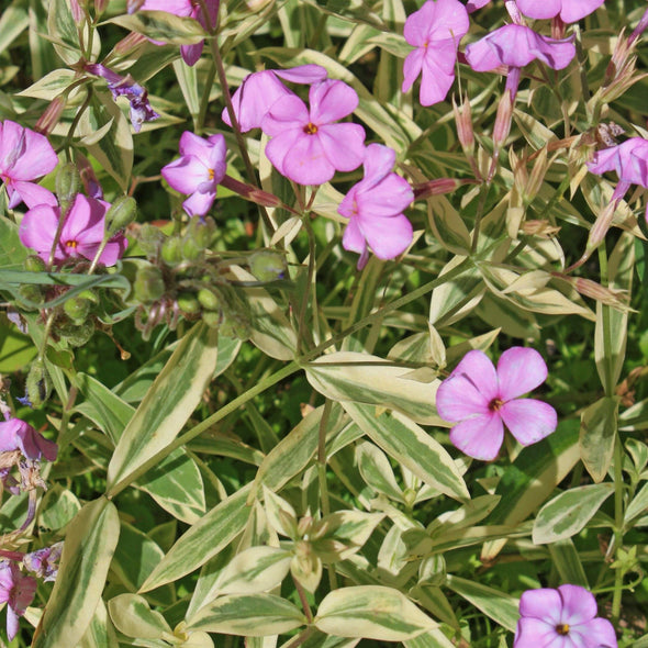 Phlox x procumbens Variegata Variegated Trailing Phlox for sale