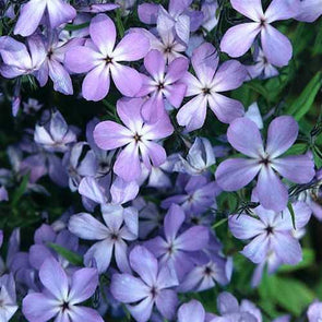 Phlox lamphamii Blue Buttons Wild Sweet William for sale