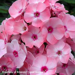 Phlox paniculata Summer Queen™ Salmon Summer Phlox for sale
