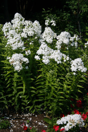 Phlox paniculata David Summer Phlox for sale