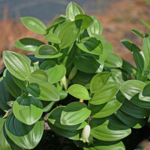 Polygonatum humile Dwarf Solomon's Seal for sale