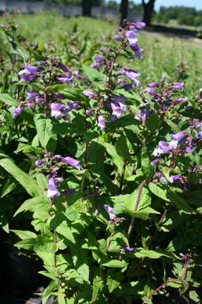 Penstemon smallii Beardtongue for sale