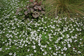 Pratia angulata White Star Creeper for sale