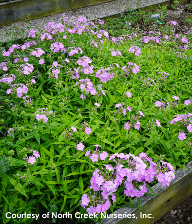 Phlox x Rose Bouquet Summer Phlox for sale