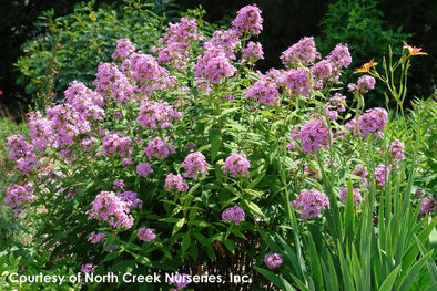 Phlox paniculata Jeana Summer Phlox for sale