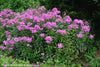 Phlox paniculata Robert Poore Summer Phlox for sale