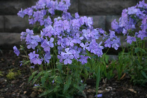 Phlox divaricata Blue Moon Woodland Phlox for sale