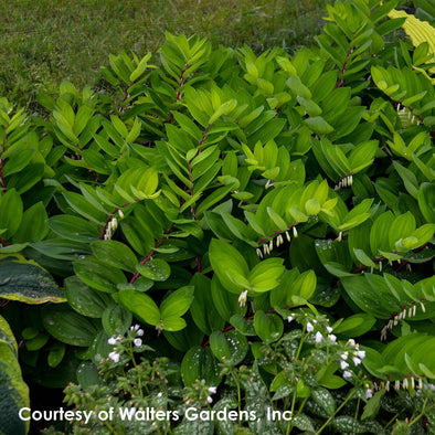 Polygonatum Ruby Slippers Solomon's Seal for sale