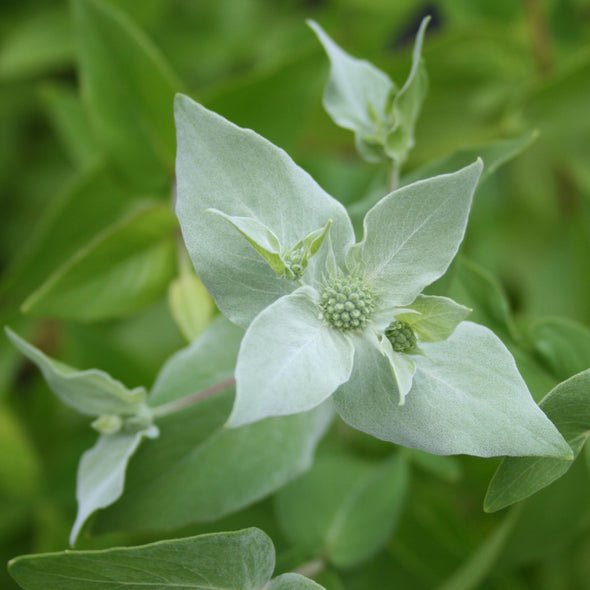 Pycnanthemum muticum Mountain Mint for sale