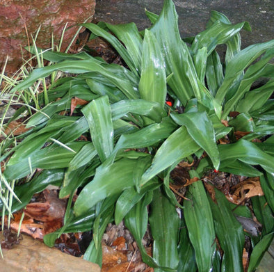 Rohdea japonica Lily of China Sacred Lily for sale